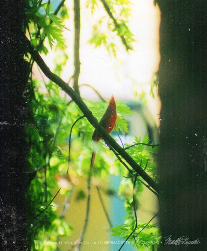 A cardinal seen between the porch pillar and a tree.