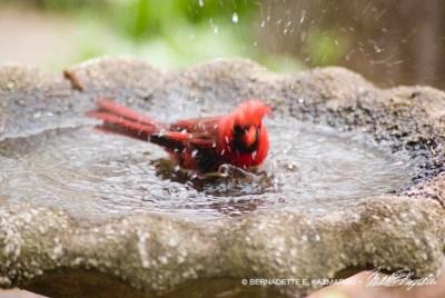 cardinal in birdbath