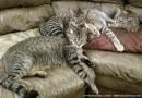 tabby cats on couch