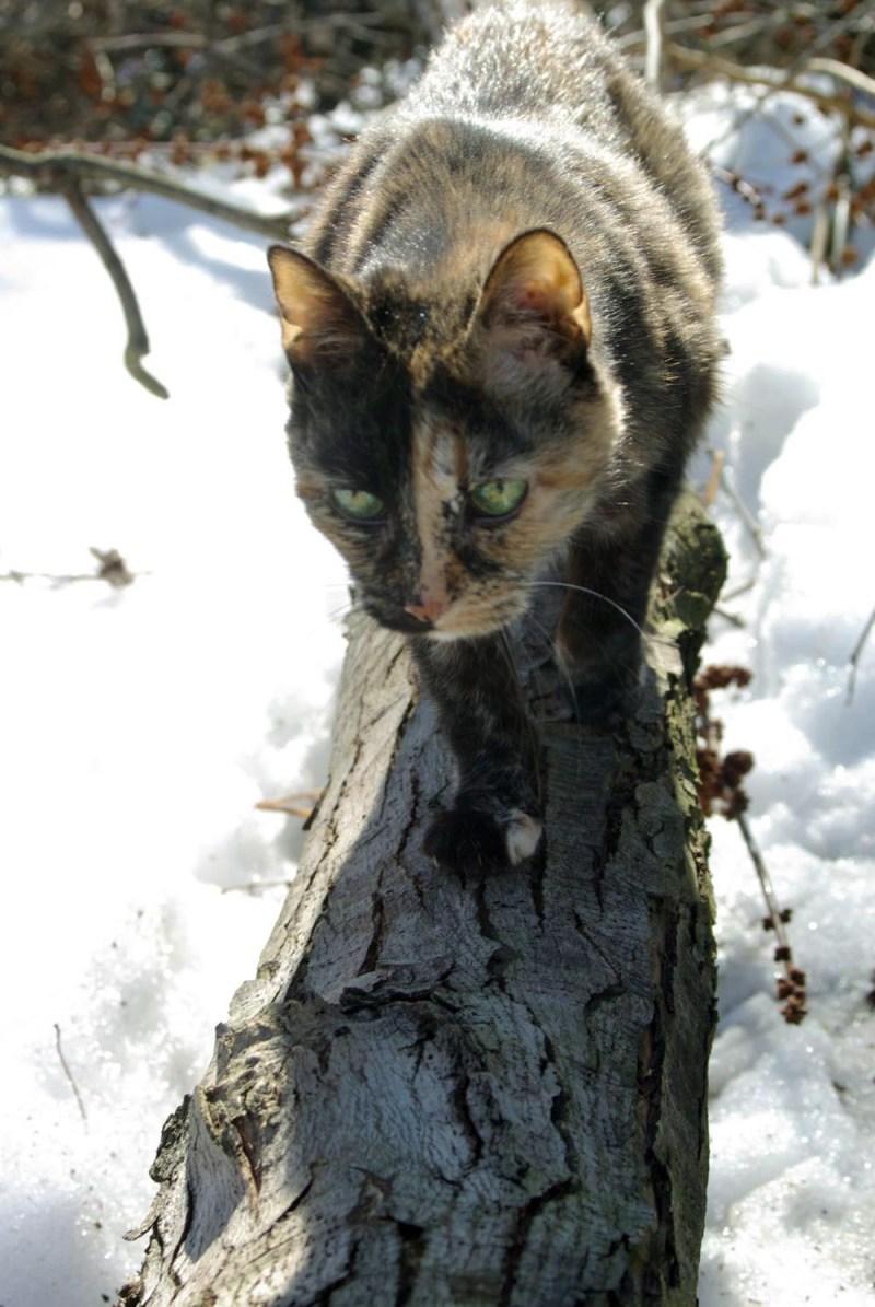 tortoisehsell cat