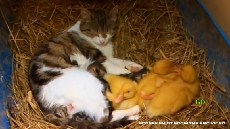 cat with ducklings