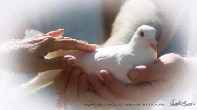 We touch the lead dove just before she is released to fly home.