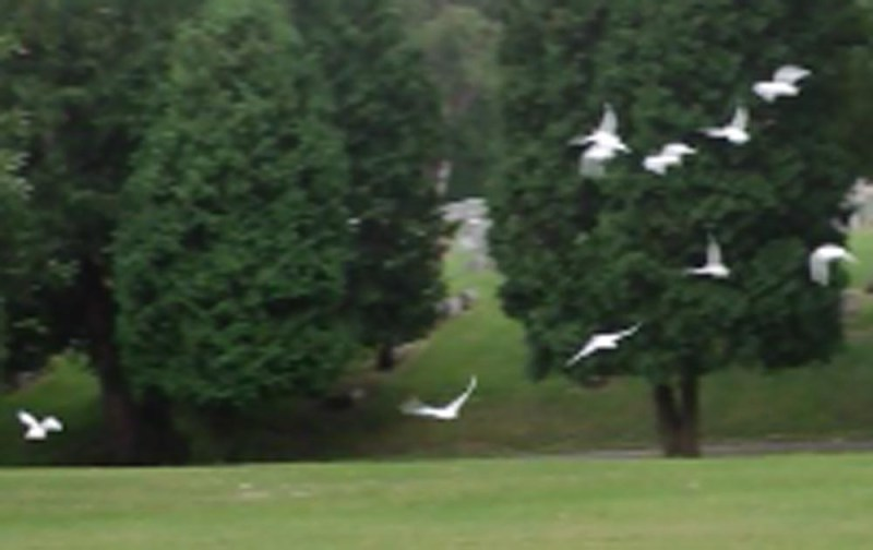 The doves at Pet Memorial Sunday.