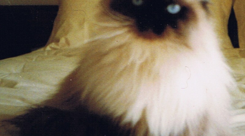 The model for the Himalayan kitty.
