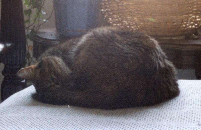 torbie cat rolled in ball