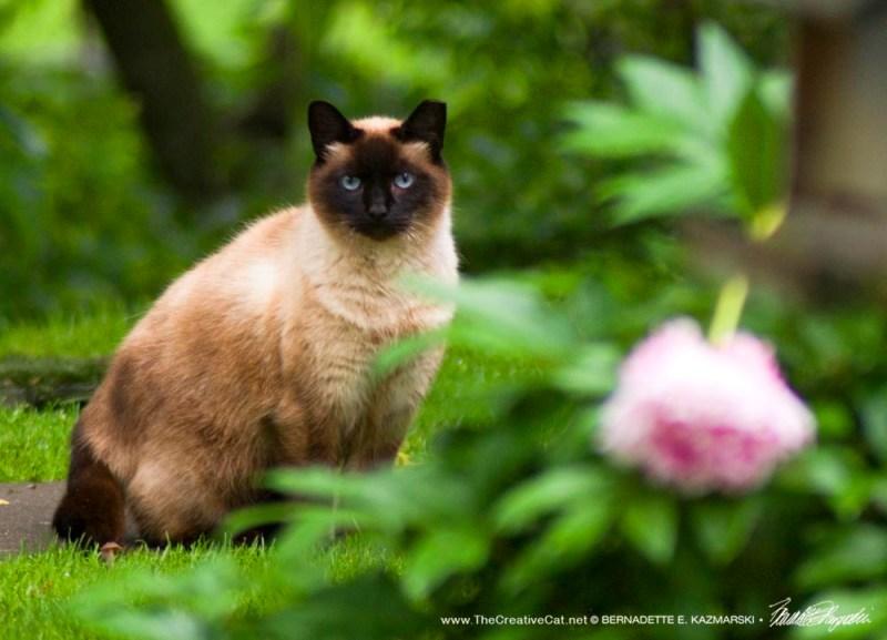 feral Siamese cat