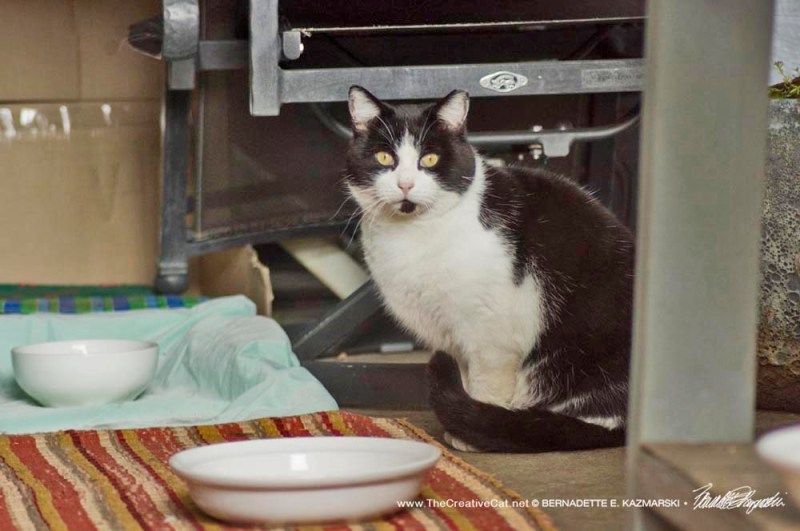 tuxedo cat waiting for food