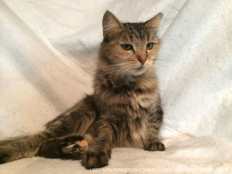 long-haired tortie cat