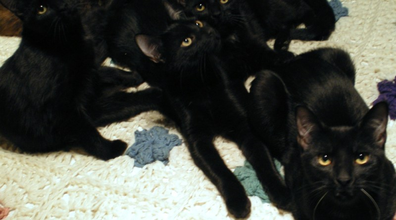four black cats on bed