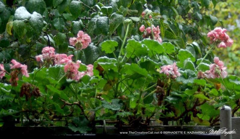 The geraniums were enjoying the autumn.
