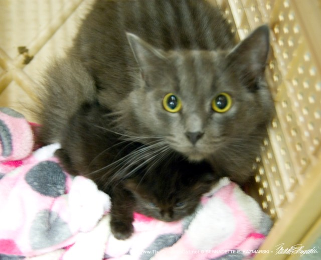 The gray mama kitty with the single black kitten.