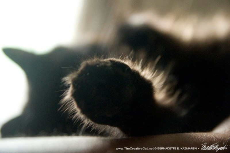 longhaired black cat paw