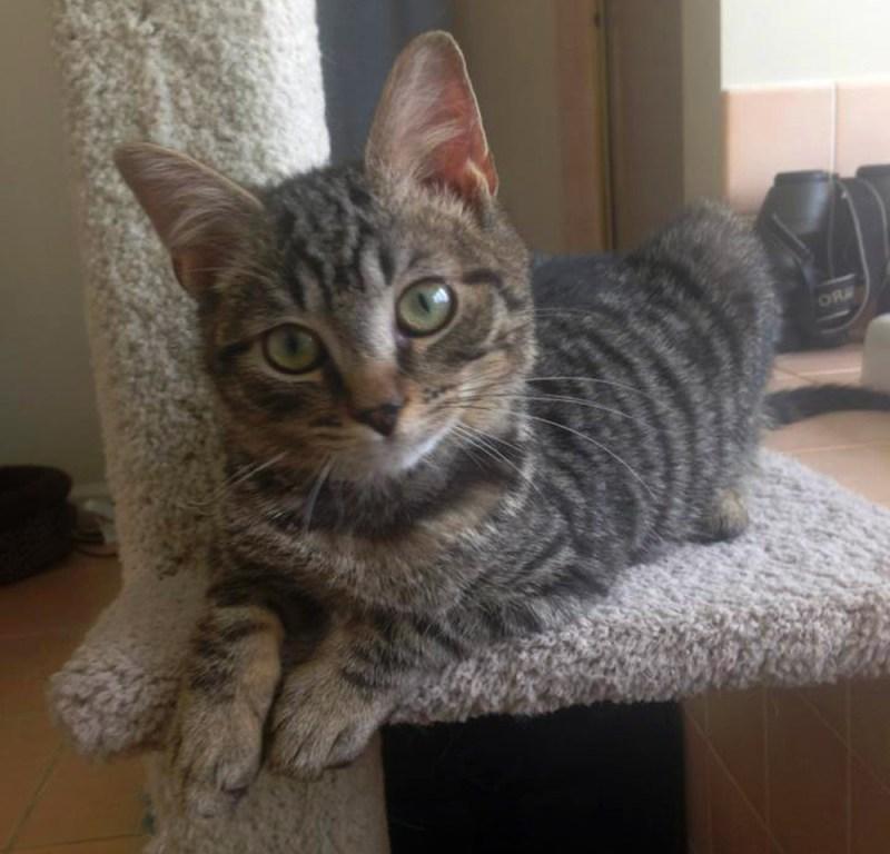 tabby kitten on cat tree