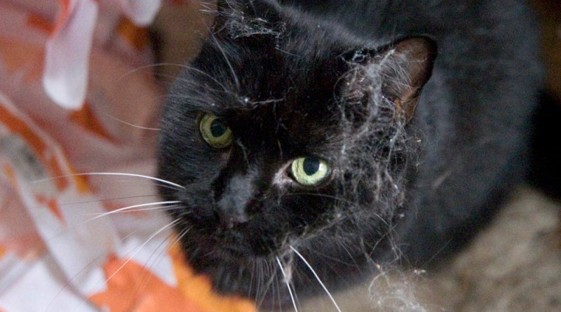 black cat with cobwebs on face