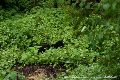 black cat in green yard