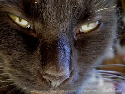 close up of black cat