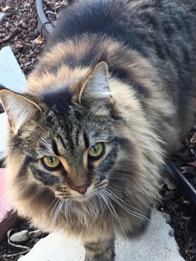 long-haired tabby cat