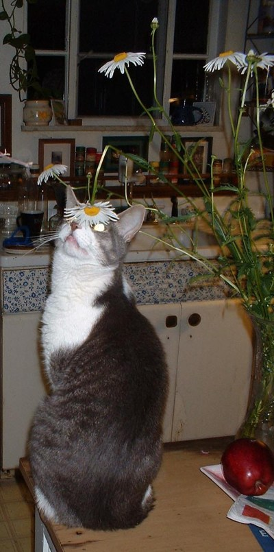 cat looking at daisy