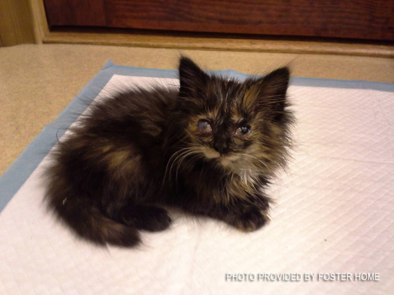 little tortie kitten