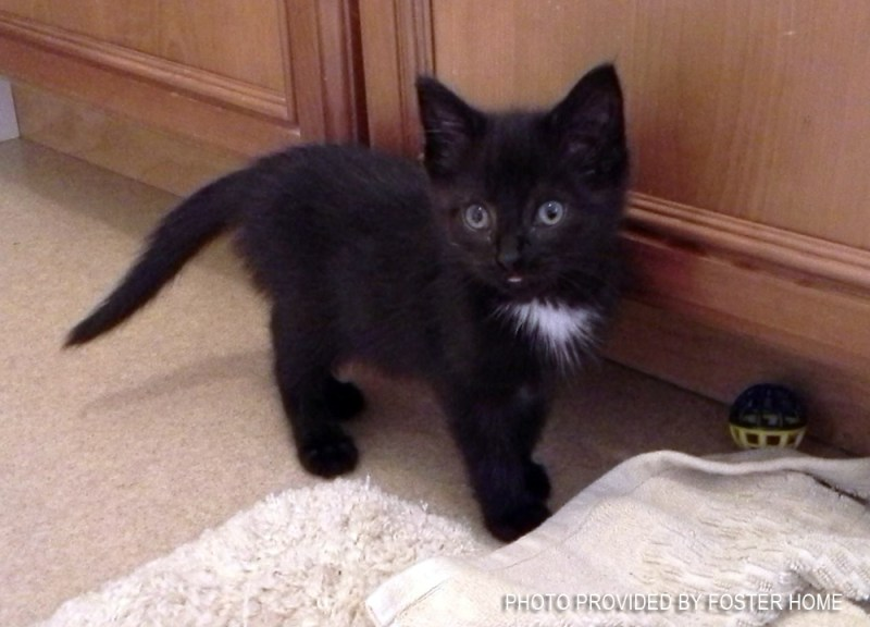 black kitten with white spot