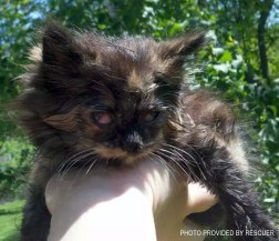 tortie kitten with infected eyes