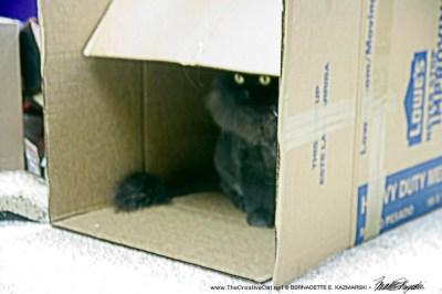 black persian cat in box