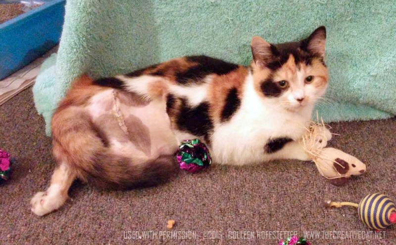 calico cat with incision