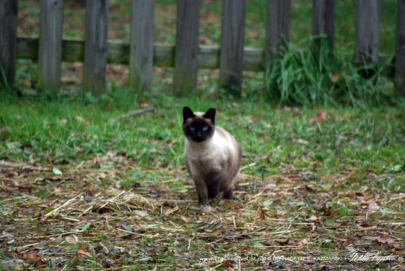 Pat's feral Siamese cat.