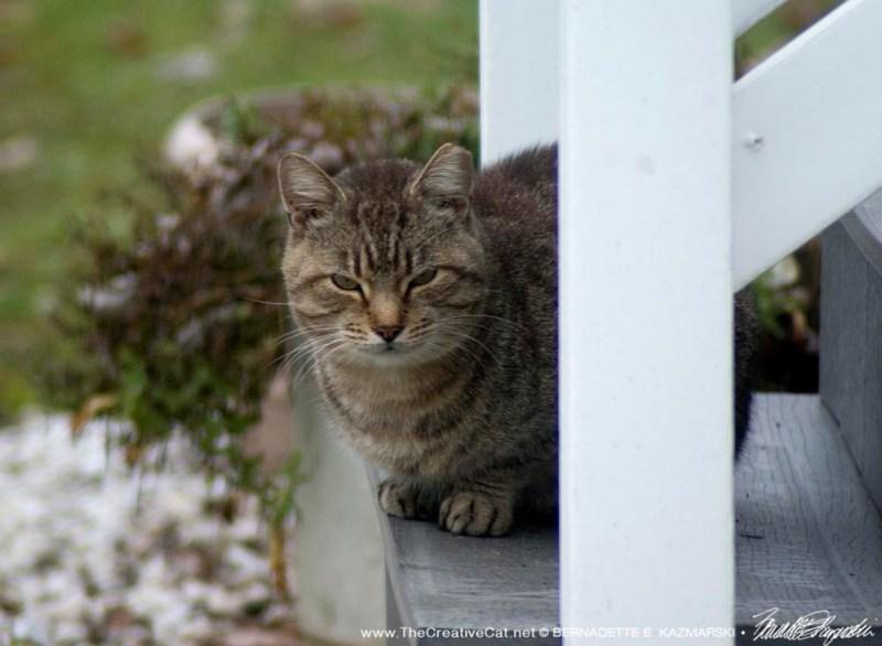 An ear-tipped tabby cat.