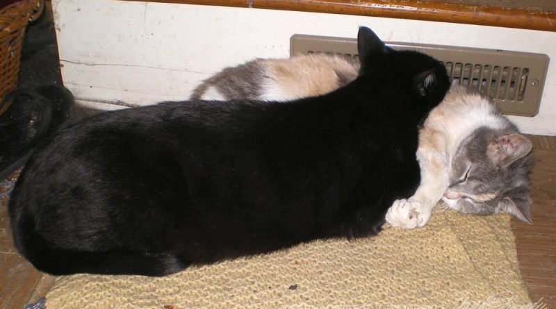 black cat and calico cat