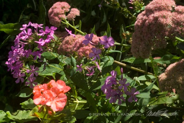 A mix of pink flowers for late summer and autumn that butterflies like, including native phlox, a native-related Autumn Joy sedum and a regular old pink geranium.