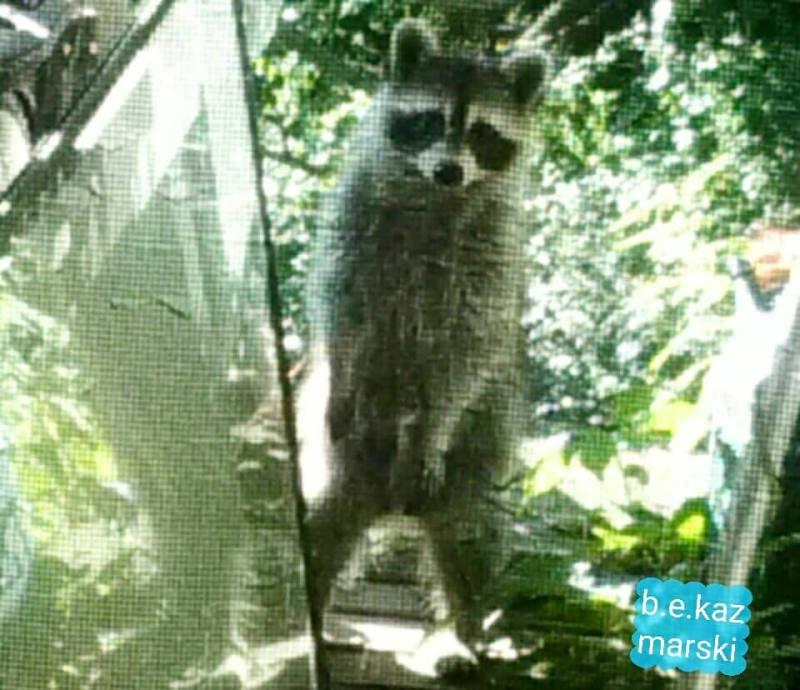 Mam raccoon standing up to get a better look.