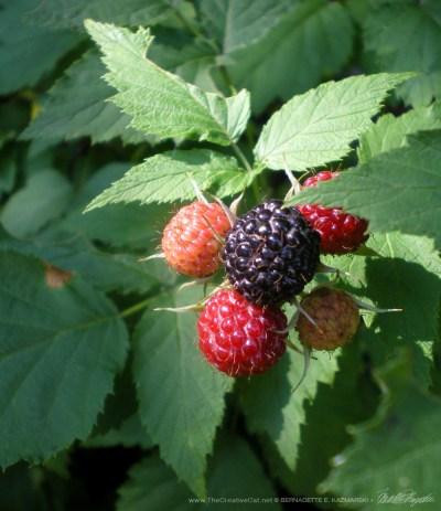Raspberries on the bush.