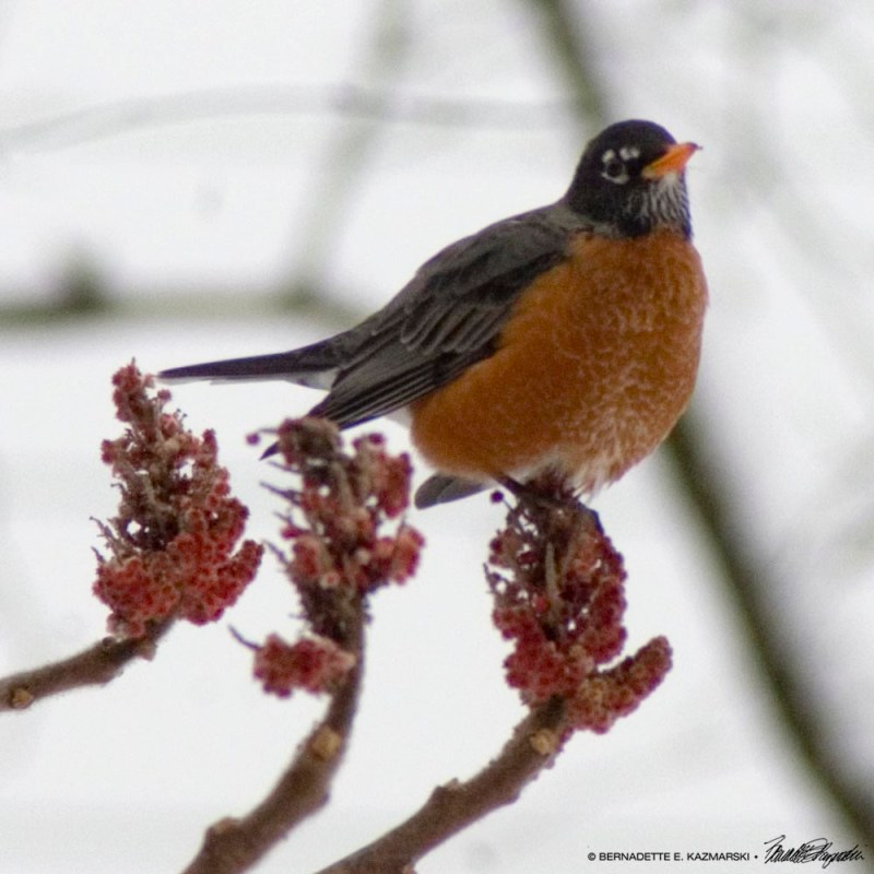 robin in sumac in winter