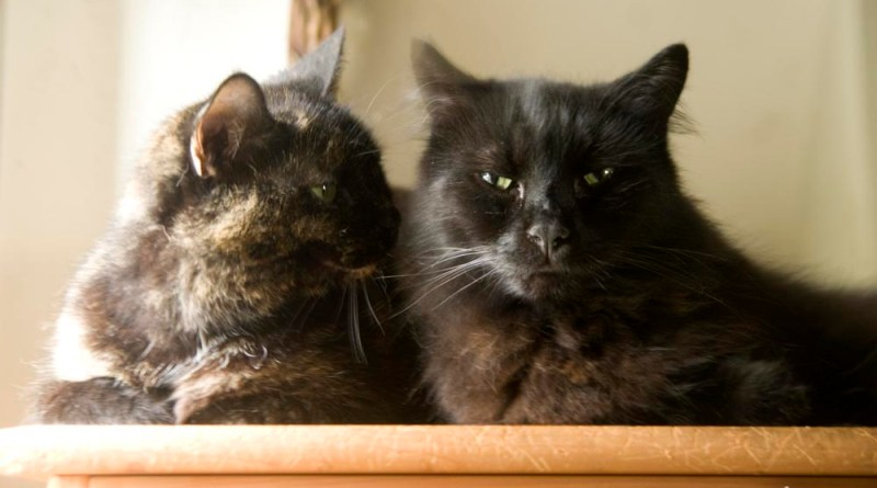 tortie and black cat