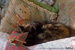 tortoiseshell cat napping