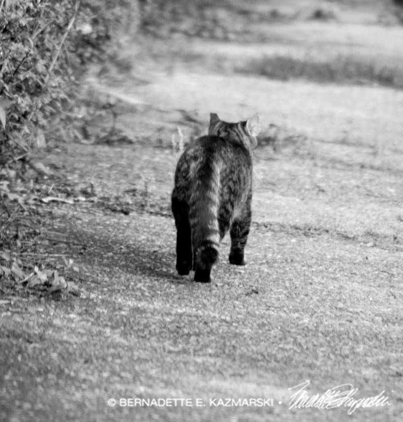 feral tabby walking