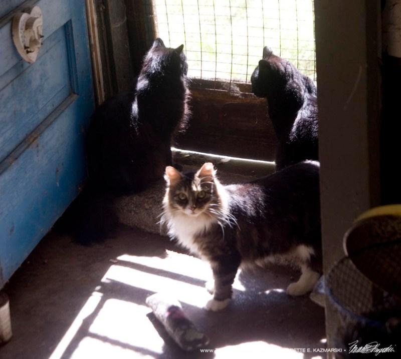 three cats at sunny door