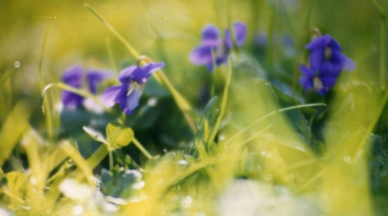 Violets in spring grass.