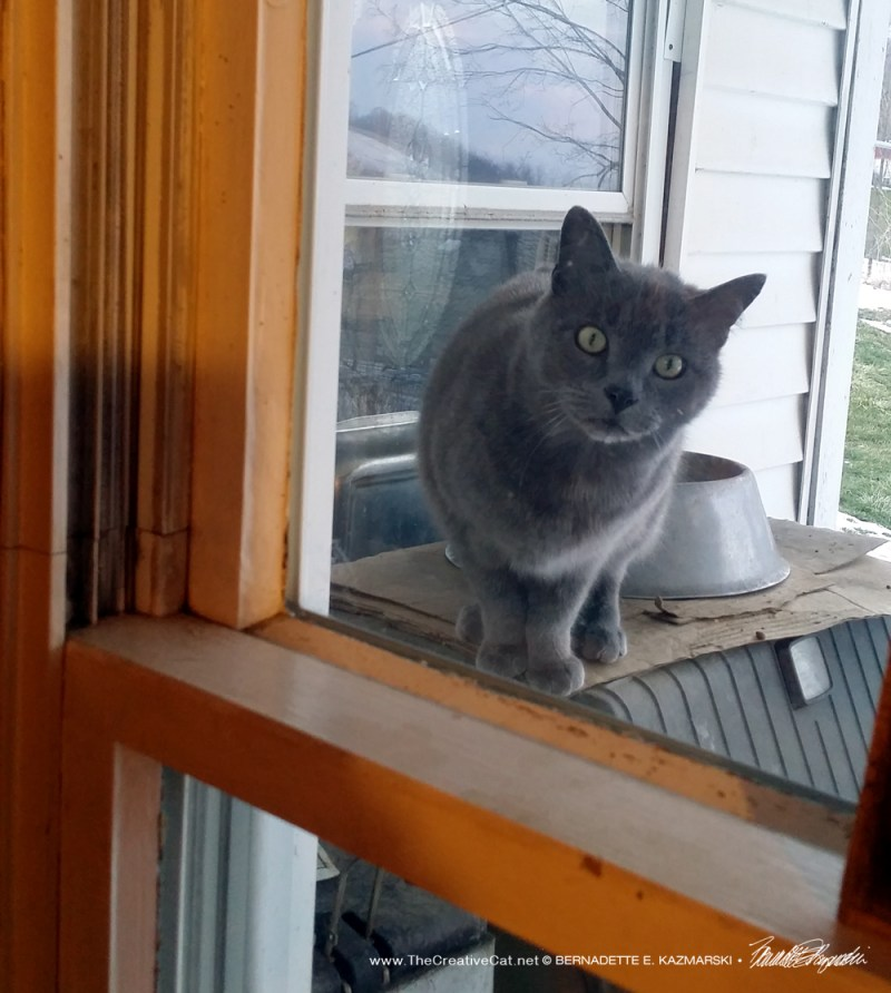 One of the outdoor gray kitties.