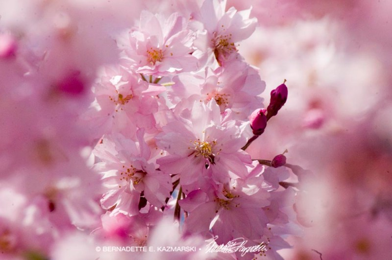 pink weeping cherry blossoms