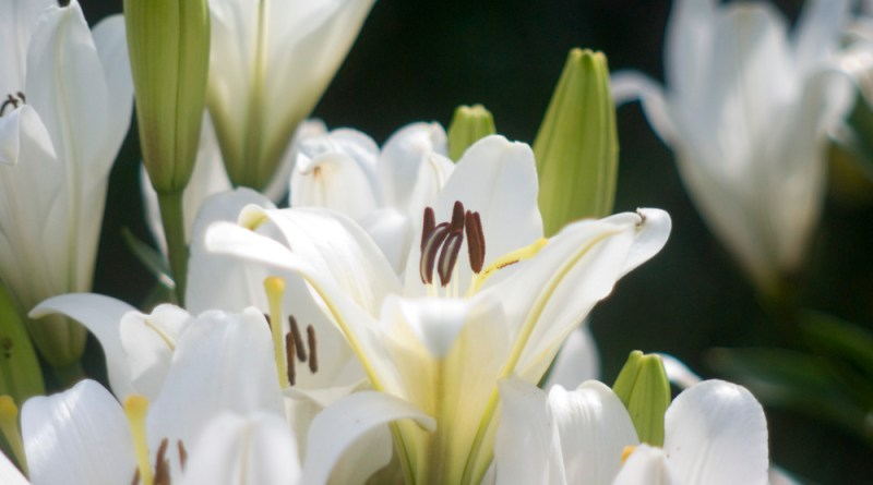 White Asiatic lilies from Easter Sunday, which my neighbor planted in his garden outdoors.