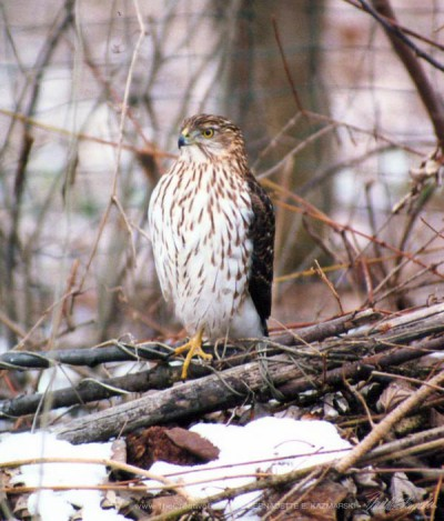 Cooper's Hawk on Brush Pile, I heard little bird scufflings in the pile when I took this photo... © B.E. Kazmarski