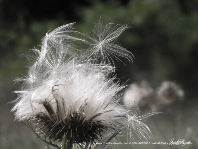 """""""Let Go"""", a photo of thistledown floating off in the wind."""