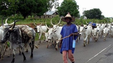 A Fulani herdsman and his cattle
