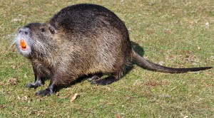 picture of nutria rat in Stafford