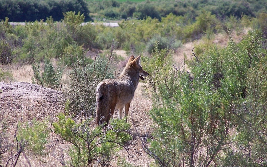 Coyote Trapping Efforts Begin