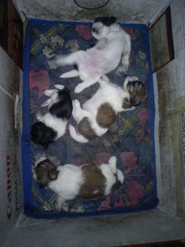 My Shih Tzu, Twilight (don't ask), gave birth to her 4th litter of puppies!