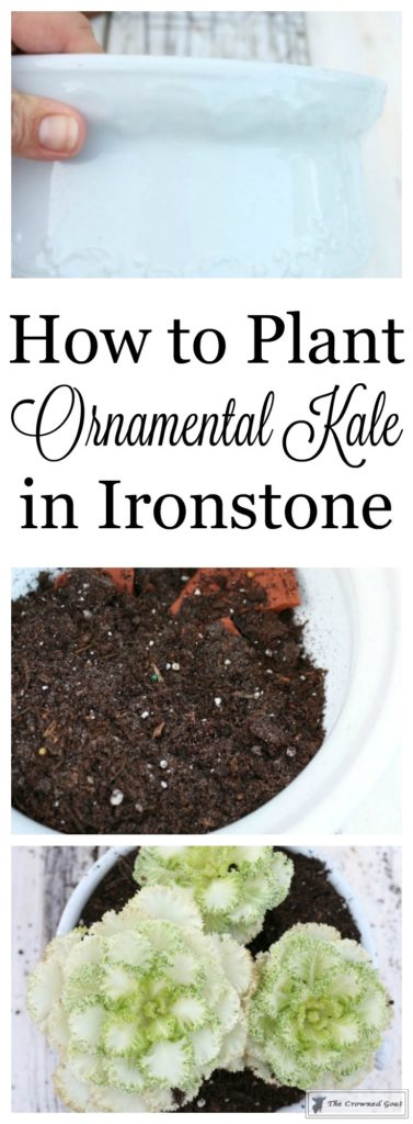 Ornamental-Kale-in-Ironstone-1-377x1024 How to Plant Ornamental Kale in Ironstone Containers DIY Holidays
