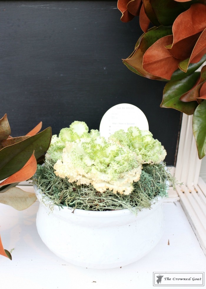 Ornamental-Kale-in-Ironstone-9 How to Plant Ornamental Kale in Ironstone Containers DIY Holidays